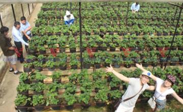 Vườn dâu trong nhà lưới